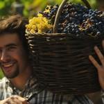 berba-grozdja-optimizirano-za-tisak-ivo-pervan